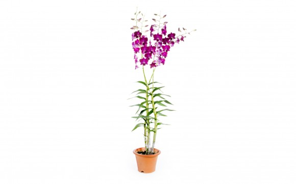 Dark Purple Dendrobium