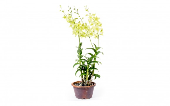 Light Green Dendrobium