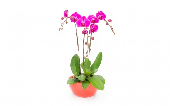 Light Pink Phalaenopsis