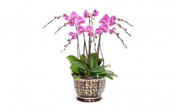 Light Purple Phalaenopsis