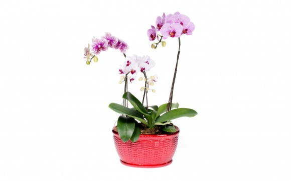 Mixed Purple Phalaenopsis